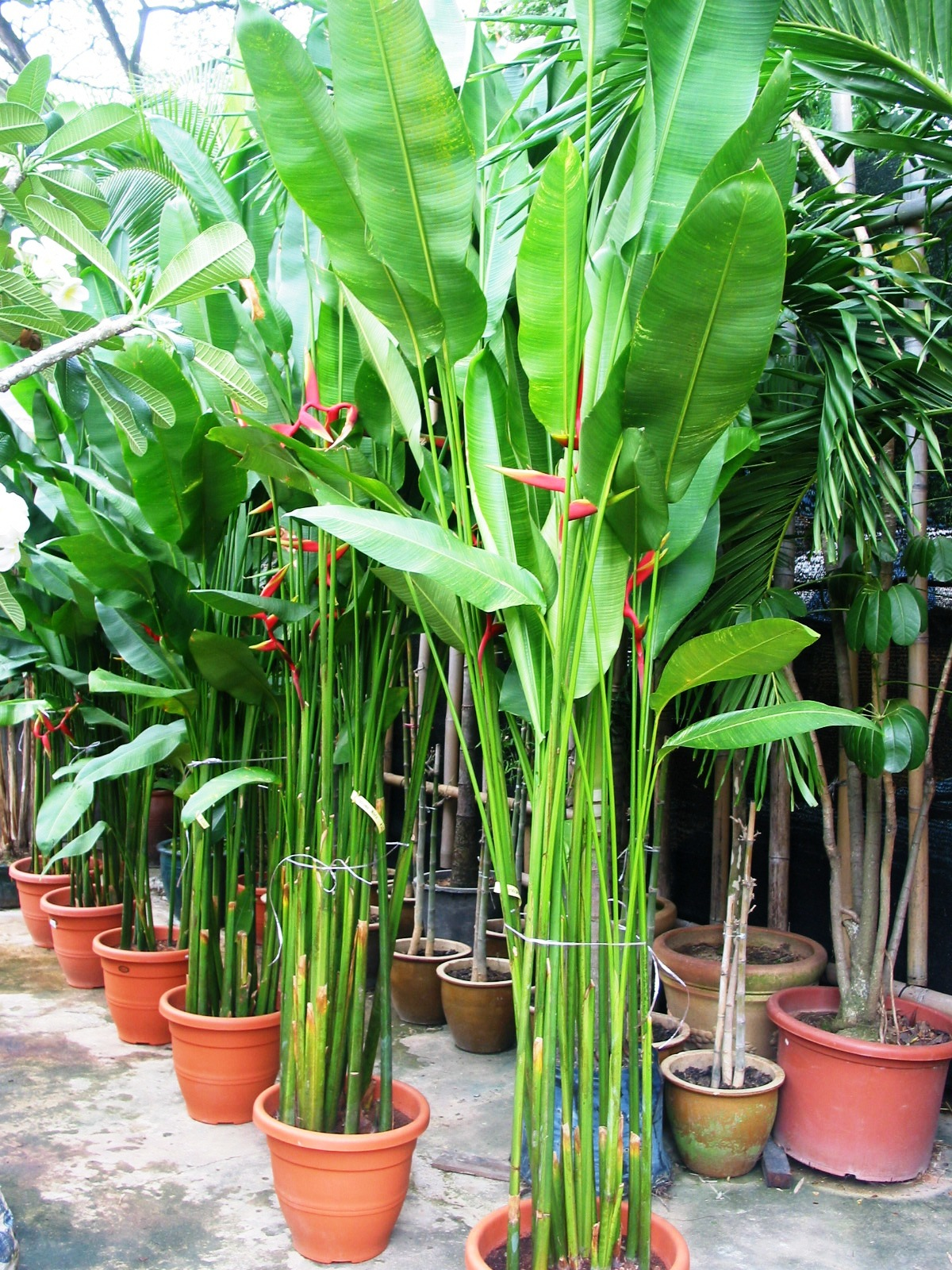 Heliconia_Stricta